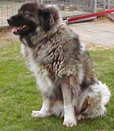 Kaukasen sind also wie schon erwähnt russische hirtenhunde deren